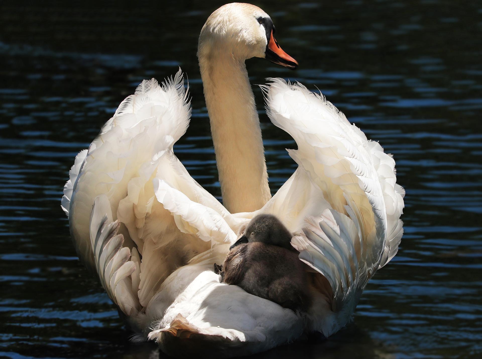 Padres del reino animal Cisne